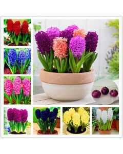 High Quality hyacinth indoor plants seeds pack of 10 Seeds